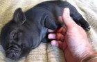 Um porquinho que adora carinho