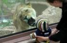 Video Löwenvideos Löwen