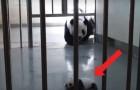 Video van Panda's