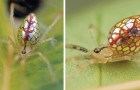 Ein Fotograf war ihr jahrelang auf der Spur: Hier für euch die schillernde Spiegel-Spinne