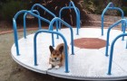 Guess what this Corgi dog does for fun?!