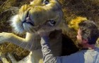 Vídeo de Leões