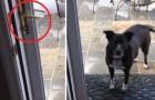 El perro no quiere entrar: cuando entiendan el motivo no lograran dejar de reir!