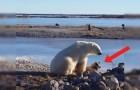 An affectionate polar bear and a dog?