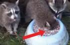 Deze wasbeer lijkt te verdrinken: wat hij werkelijk doet, zal je verbazen!