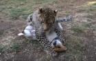 Video Video's van Luipaarden Luipaarden