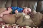 De baby rust op de buik van een pitbull: de warmte die de hond uitstraalt is onbeschrijfelijk!