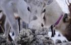 De Ramp In Tsjernobyl Vond 30 Jaar Geleden Plaats… Maar Zweedse Rendieren Zijn Nog Steeds RADIOACTIEF
