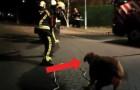 I pompieri si trovano in difficoltà a tirare giù un albero: guardate chi arriva ad aiutarli