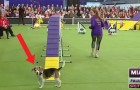 De beagle is voortdurend afgeleid: dit is de grappigste behendigheidswedstrijd voor honden die je ooit hebt gezien!