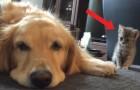 El perro dormita y no se da cuenta del gatito: cuando logra hacerse notar...ambos son dulcisimos!