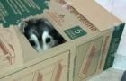 deze husky is grootgebracht door katten. Bekijk zelf het eindresultaat...