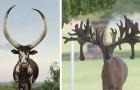 Corna da Guinness: alcune tra le più spettacolari del regno animale