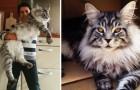 riesige Katzen: 12 Fotos die euch entzücken werden!