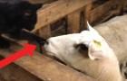 Video Schafvideos Schafe
