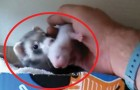 Este furão pega a mão desde homem para mostrar alguma coisa de muito importante: uma doçura sem tamanho!
