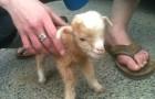 Os melhores momentos de bebês cabras em um único vídeo: depois dessa ele vai se tornar seu animal favorito!