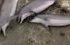 Deze dolfijnen zijn niet aangespoeld, maar demonstreren hier een bijzondere en intelligente manier van jagen!