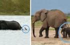 Vidéos d' Eléphants