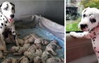 Une dalmatienne bat un record en mettant au monde 18 chiots et le dernier est vraiment spécial