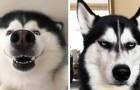 16 photos qui montrent que les huskies sont les chiens les plus expressifs du monde