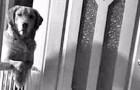 Um cachorro fica olhando para seu dono todas as noites: o motivo emociona a família que o adotou...
