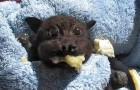 Este pequeno morcego foi atropelado: o vídeo mostra como ele se recuperou!