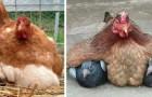 11 photos de poules qui essaient de garder au chaud leurs INSOLITES petits