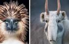 Een fotograaf maakt twee jaar lang foto's van dieren die met uitsterven zijn bedreigd: zijn foto's zijn hartverscheurend
