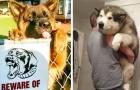 20 foto's die aantonen van sommige honden eeuwig Peter Pan blijven