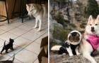 Queste immagini dimostrano che husky e gatti formano una accoppiata stupenda