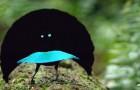 Scoperta una nuova specie di uccello dalle piume così nere da assorbire il 99.95% della luce