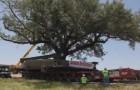 Un arbol de 150 años y pesa 360.000 kg debe ser cuidadosamente trasladado