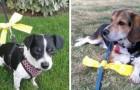 Zo zou je je moeten gedragen als je een hond ziet met een geel lint aan zijn riem