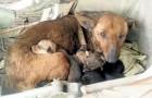 Eine Frau bemerkt einen streunenden Hund mit Welpen: Kurz darauf wird sie entdecken, dass sich ein Baby unter ihnen versteckt
