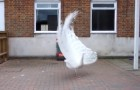 A rare white peacock is preparing to open its tail and the show it puts on is nothing short of wonderful