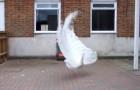 Um raro pavão branco se prepara para abrir a sua cauda: o espetáculo que cria é maravilhoso!