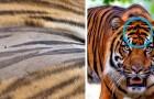10 kleine kuriose Fakten über Tiger, die den Charme dieses Tieres erklären werden