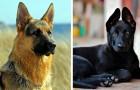 Ces 14 belles photos nous montrent que le berger allemand est l'un des plus beaux chiens du monde.