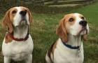 Caminha no bosque com os seus cachorros e cai em um penhasco: um deles fica fazendo companhia, o outro vai buscar ajuda