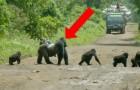 Video di Scimmie