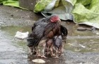 This hen that shelters her chicks from the rain is the most beautiful symbol of motherly love