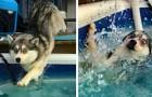 11 chiens maladroits très drôles qui vont vous faire rire aux éclats.