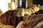 Sleeping with a tiger? Why not!