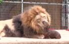 Video  Lions