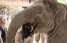 Como um elefante demonstra seu profundo afeto