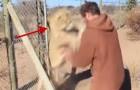 Een man opent het hek van de leeuw en krijgt een fantastische reactie
