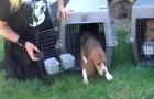Na een verschrikkelijk leven in het laboratorium, zien deze honden voor het eerst de zon