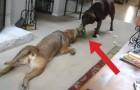 Cães brincando de cabo de guerra!