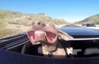 Hij reist met zijn hoofd uit het dak: het gezicht van de hond is om te sterven van het lachen
